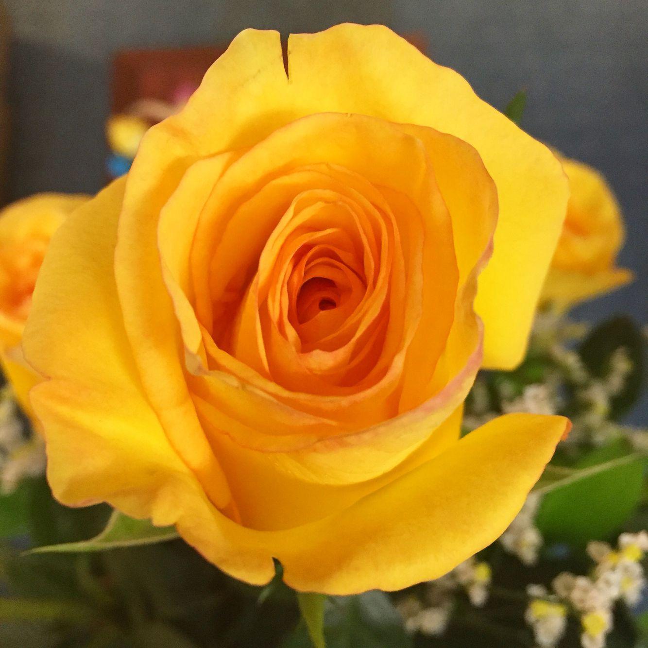 Rosa colombiana