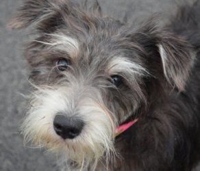 Grant Is An Adoptable Schnauzer Dog In Morgantown Wv Grant Is 1 Yr Old 20 Lbs Scared Fine W Dogs And Humans Schnauzer Dogs Schnauzer Pets