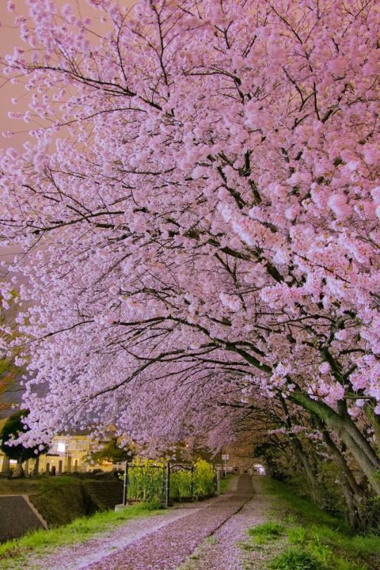 Cherry Blossoms By Manabe470204 As Seen On Tokyo Camera Club Cherry Blossom Japan Beautiful Landscapes Beautiful Nature