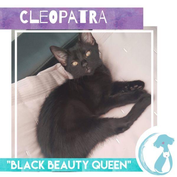 Cleo Rescue Kitten Cats & Kittens Gumtree Australia