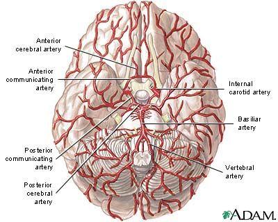 common arteries in brain carotid arteries and the vertebral