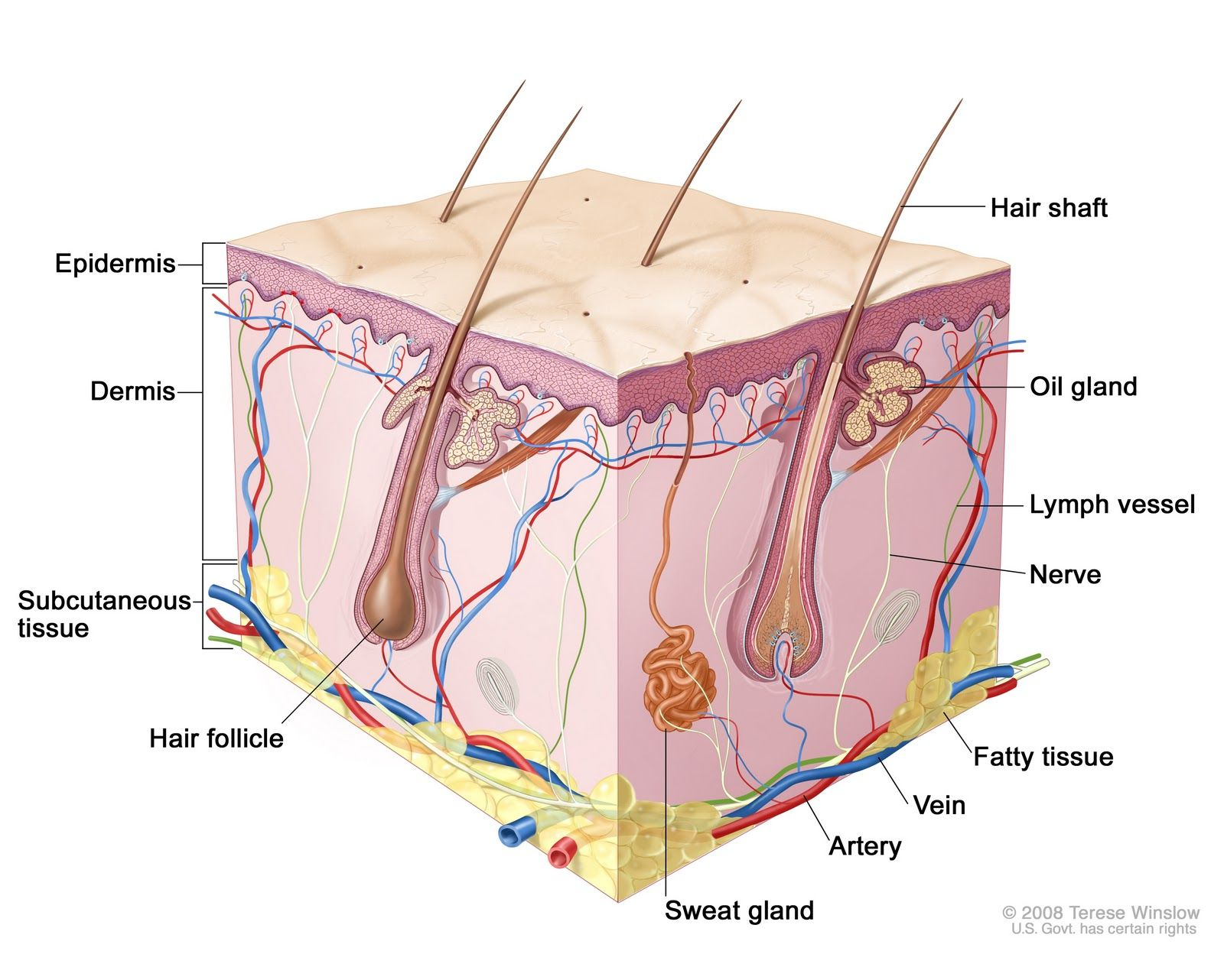 Et S Look At Some Skin Science The Skin Is Composed Of Many Layers The Outermost Layer Is Called The Skin Anatomy Subcutaneous Tissue Cosmeceutical Skin Care