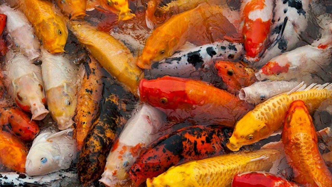 انواع سمك الزينة Fish