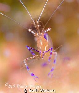 Pederson Cleaner Shrimp By Beth Watson Ocean Underwater Underwater Underwater Photos