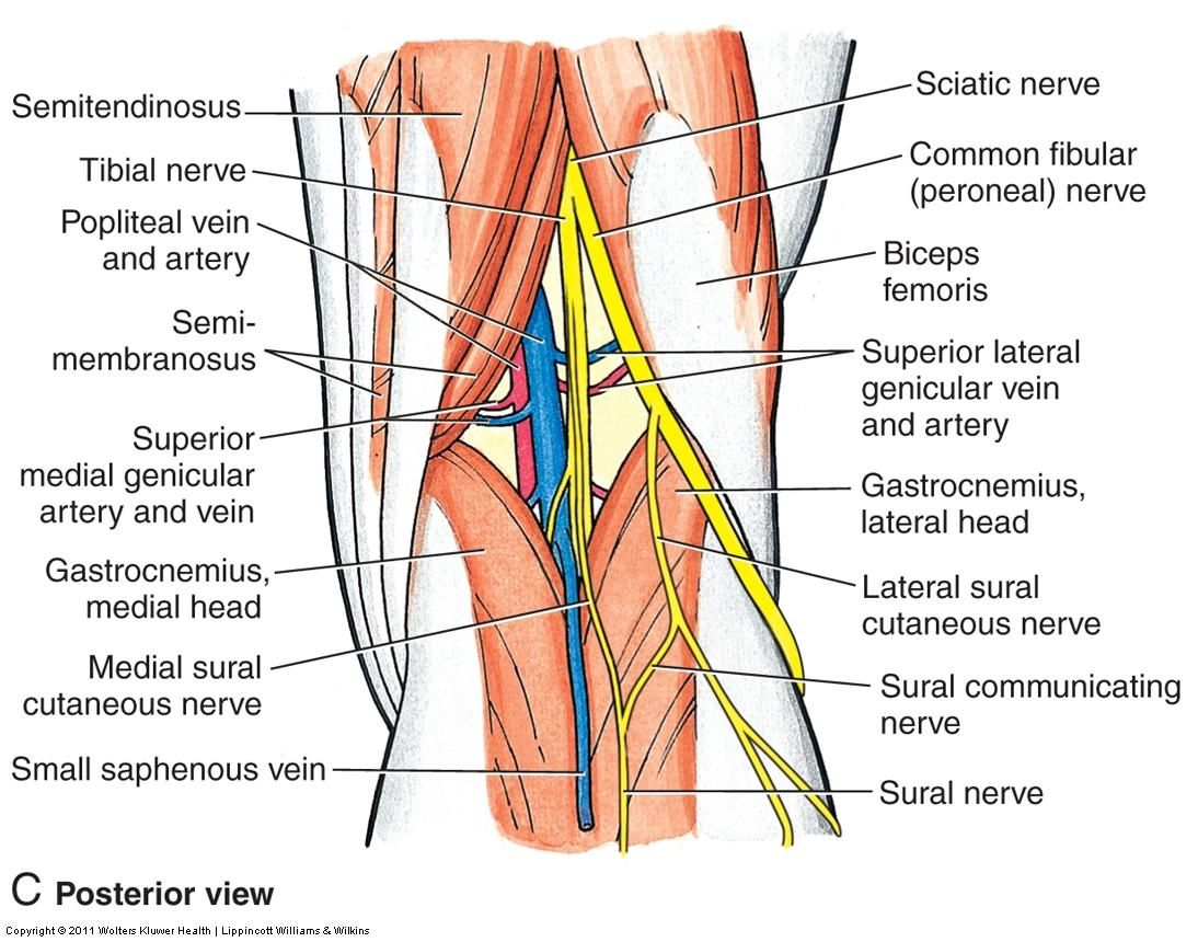 Anatomy of knee leg with nerves google search pain management image essknee for term side of card pooptronica