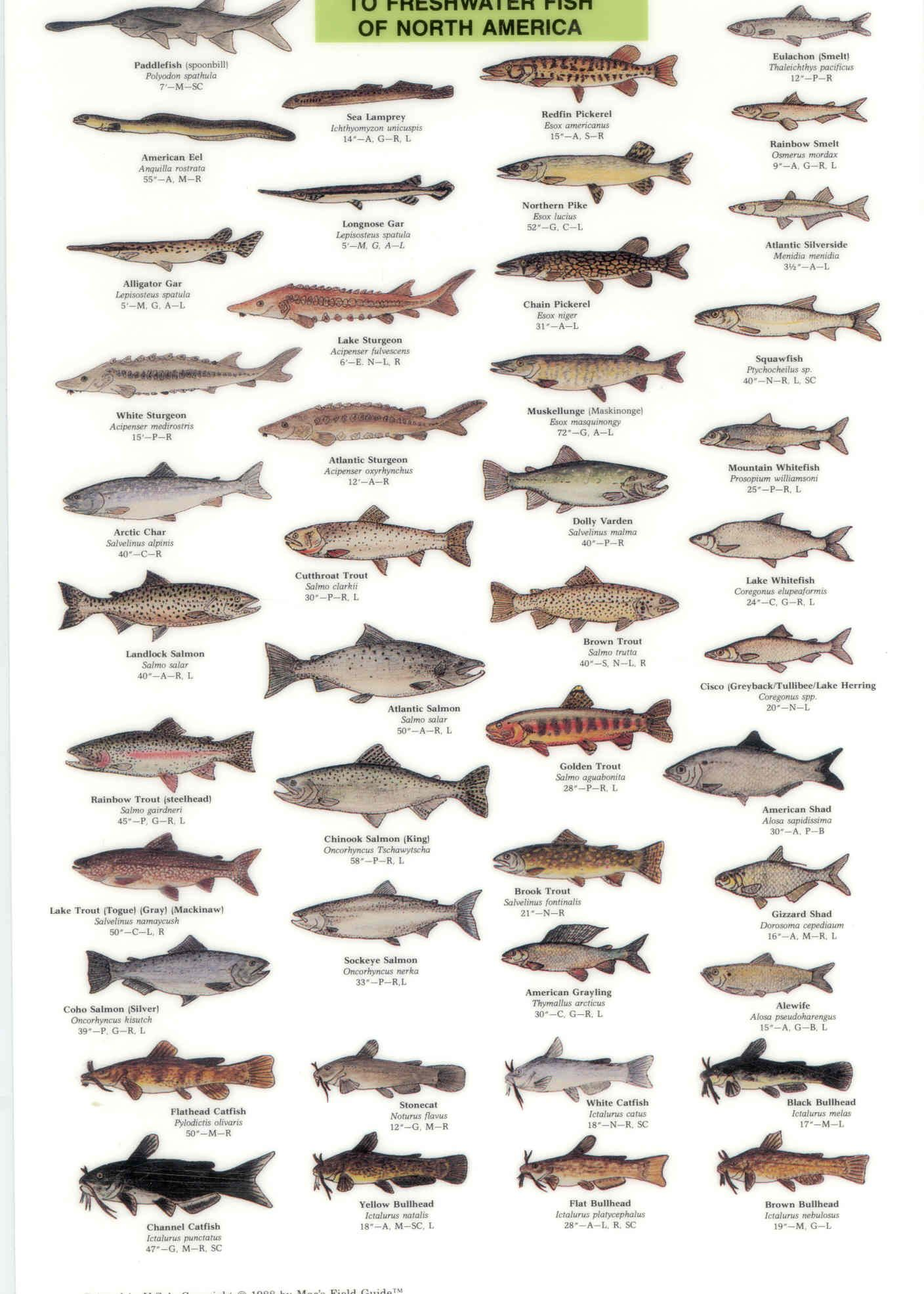 North america fish identification chart fishing for Types of fish in florida