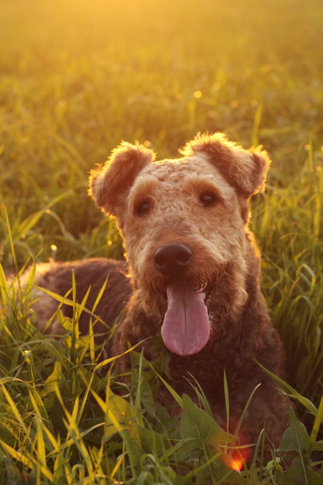 Airedale Terrier puppy Dog ~ Reminds me of our Pink Nosed Monster we used to have :  Furry