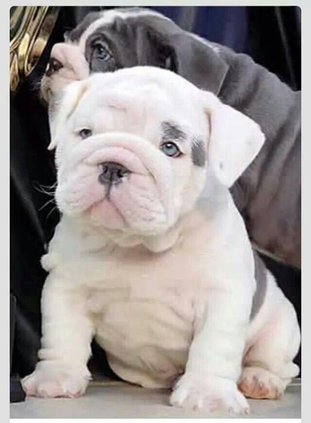 Superbe Trop Mimi Baby Animals English Bulldog Puppies