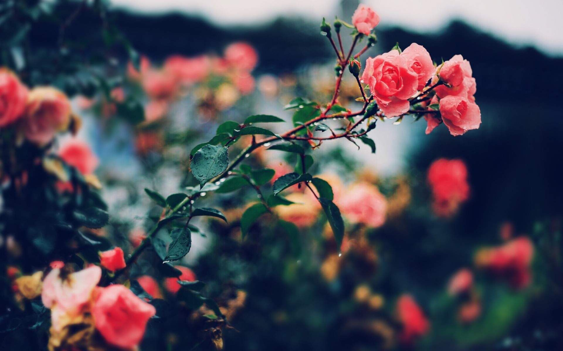Free Wallpaper Roses Roses Wallpapers For Pc Hvga Rose