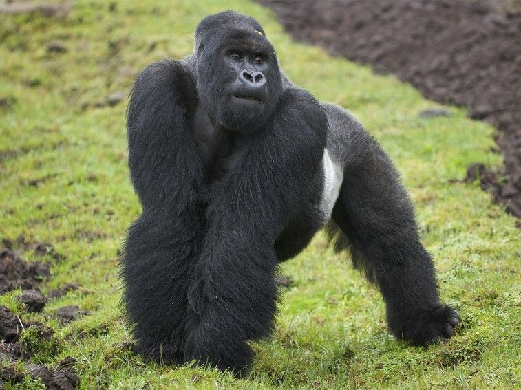 Mountain Gorilla - Mission Critical Gallery - Nat Geo WILD