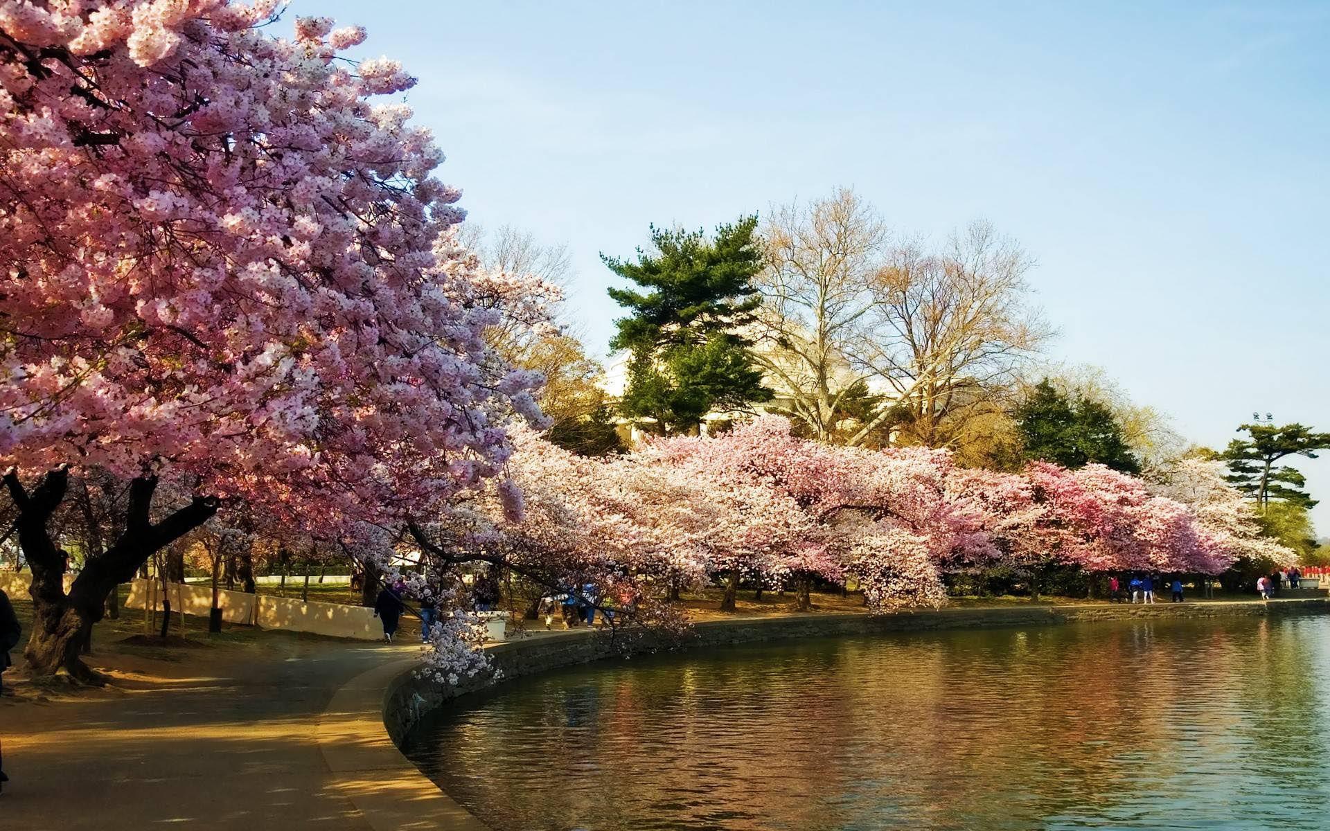Dc Cherry Cherry Blossom Japan Cherry Blossom Wallpaper Blossom Trees