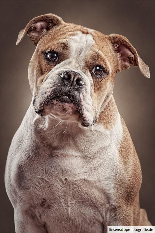 Portrait Of A Continental Bulldog The Continental Bulldogs Are