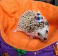 Celebrating Hedgie c: