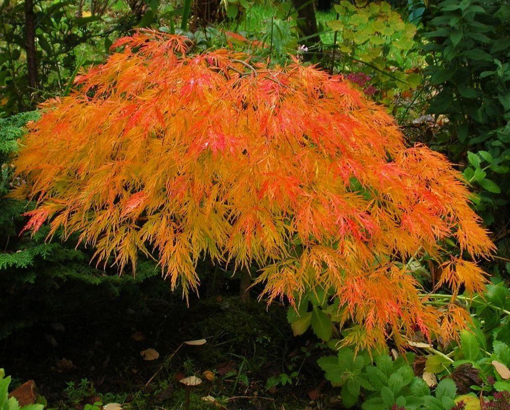 Waterfall Japanese Maple Trees Japanese Maple Tree Japanese Maple Ornamental Trees