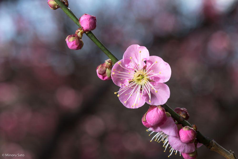 Plum Flower by Minoru Sato