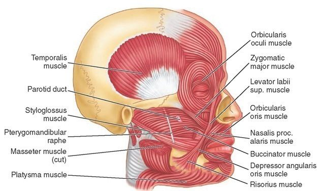 Muscles Of Facial Expression And Accessory Muscles Of Mastication