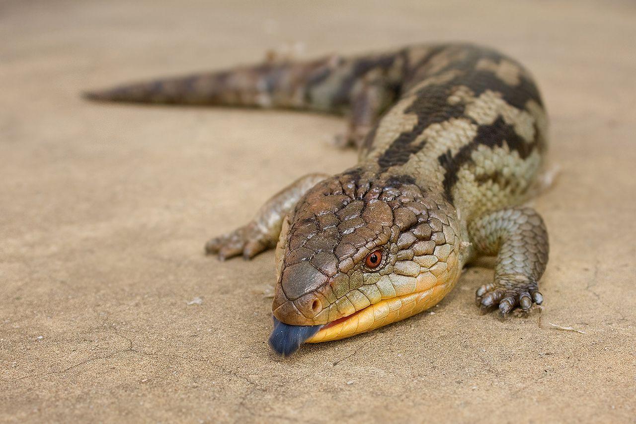 Blotched Blue Tongued Lizard Tiliqua Nigrolutea Austin S Ferry