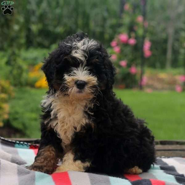 Tanner Miniature Bernedoodle Puppy For Sale In