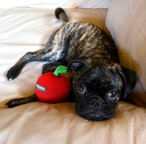 Boston Terrier Pug on Pinterest | Brindle Pug, English Bulldog Care ...
