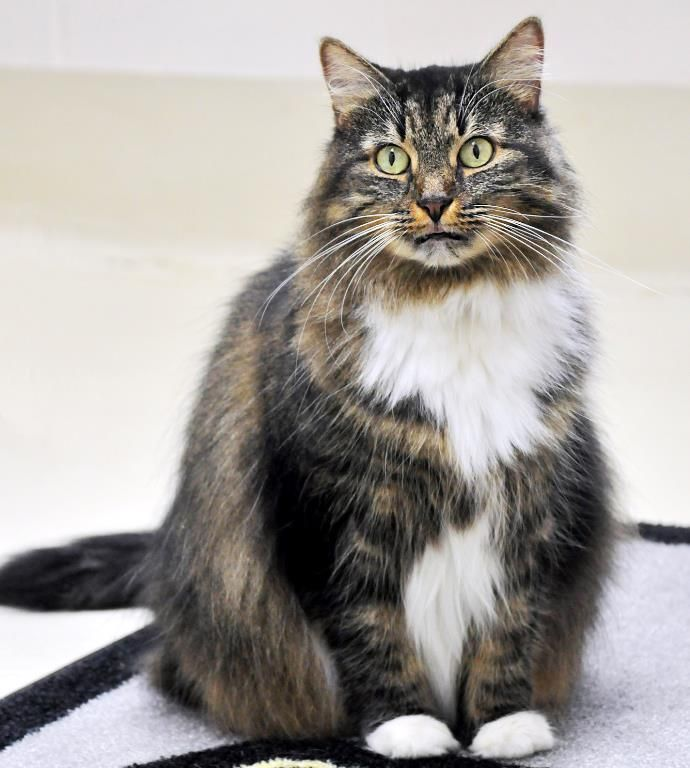 Adopt Abby On With Images Norwegian Forest Cat
