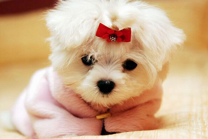 10 Things You Should Never Say To A Maltese Puppy Puppiesclub Com Cute Baby Animals Cute Animal Pictures Baby Animals Baby and dogs hd desktop wallpapers