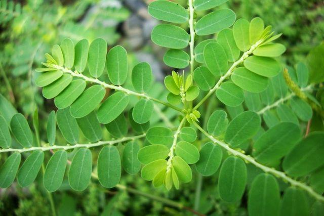 khasiat daun salam untuk síntomas de diabetes