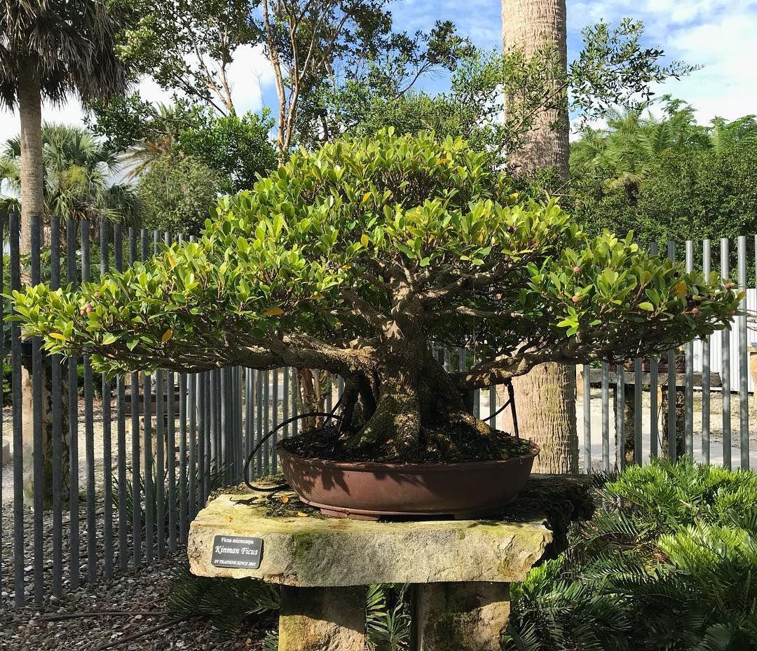 The Kinman Ficus Bonsai Looking Sharp Heathcotebotanicalgardens Jamesjsmith Bonsai Bonsaitree Kinmanficus T Bonsai Garden Botanical Gardens Bonsai