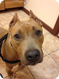 Whitestone, NY - Pit Bull Terrier Mix. Meet Jayda, a dog for adoption. http://www.adoptapet.com/pet/9931212-whitestone-new-york-pit-bull-terrier-mix