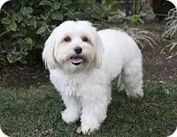 Havamalt Havanese Maltese Mix Havanese Maltese Mix Dog Adoption