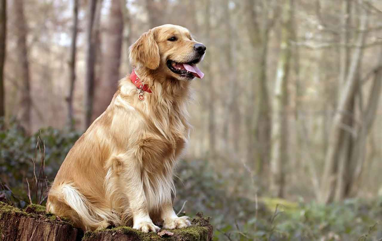The 10 Best Dogs For Kids And Families In 2020 Golden Retriever Dog Breeds Golden Retriever Breed
