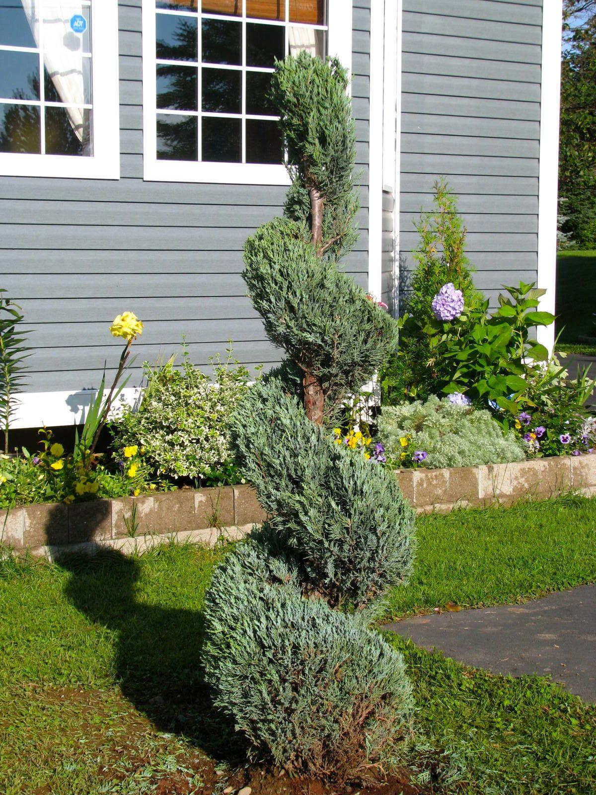 Love My New Spiral Tree Juniper Skyrocket Diy Lawn Front