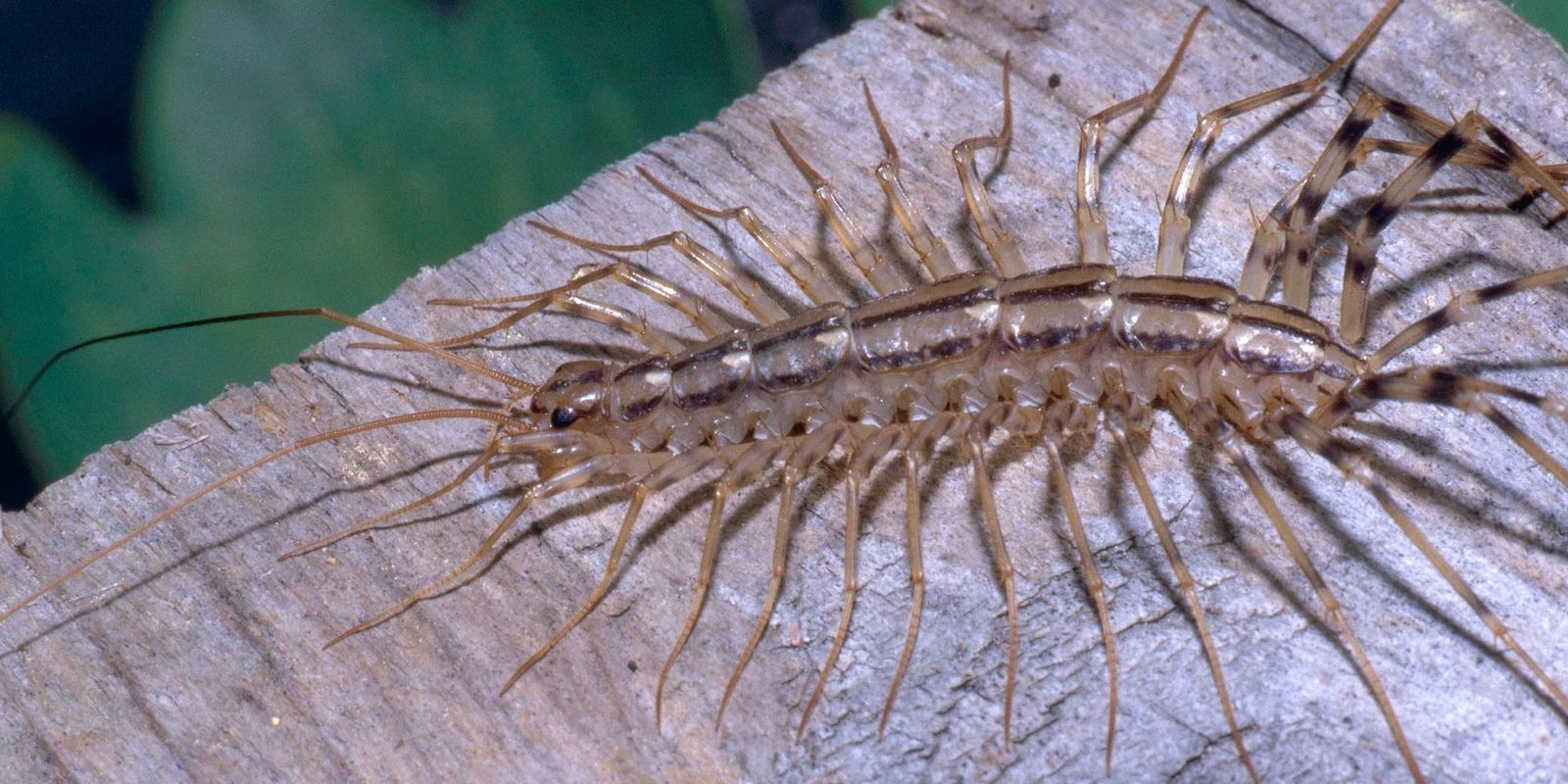 Why You Should Never Squash A House Centipede With Images