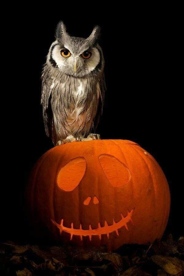 Owl and pumpkin.