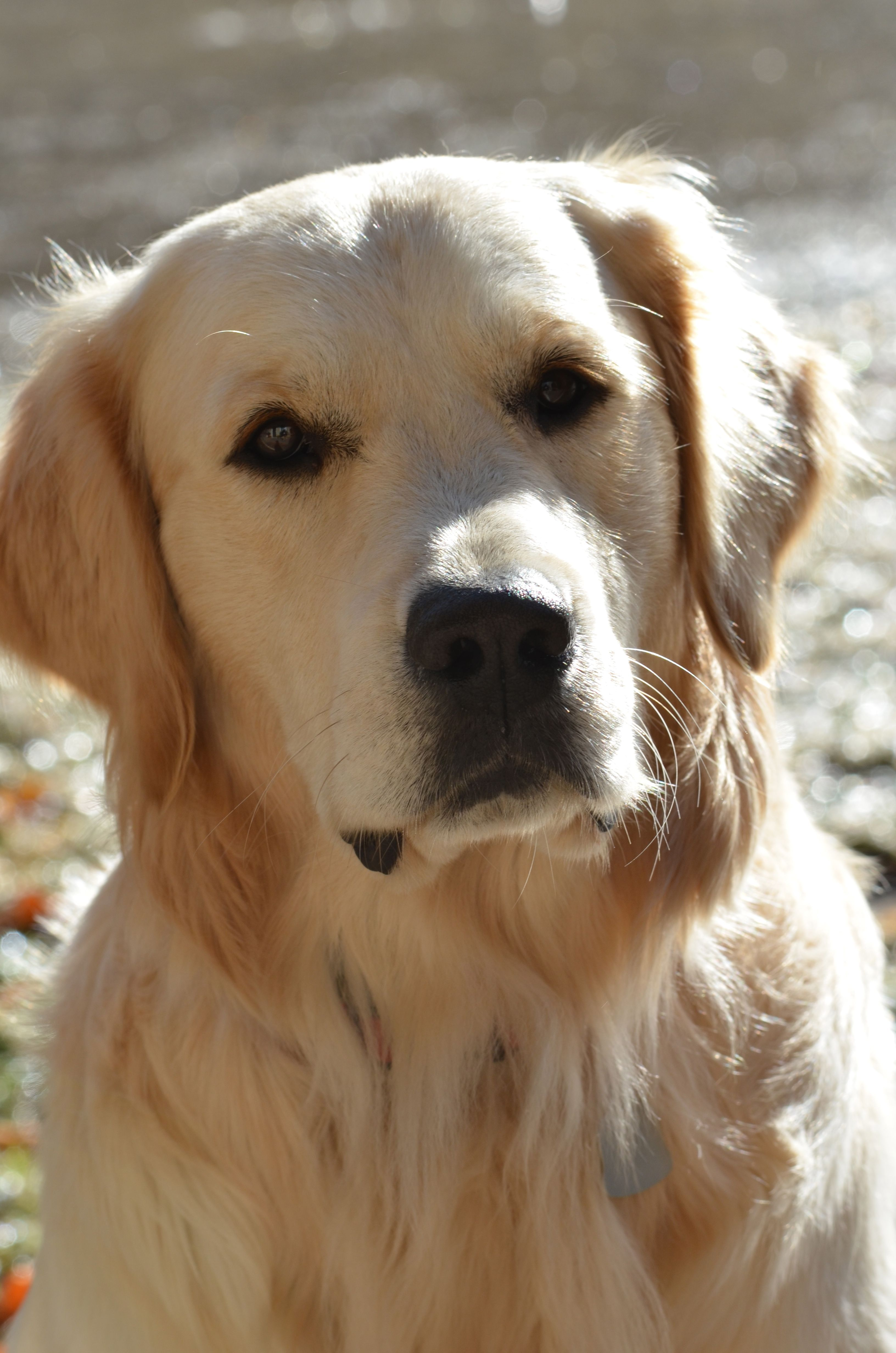 Golden Boy Beautiful Dog Breeds Golden Retriever