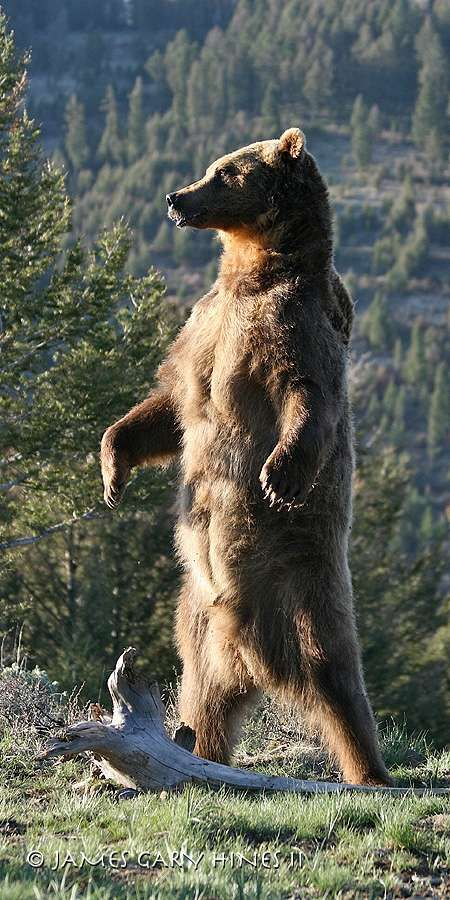 James Gary Hines II - Nature Photographer - North America Fine Art Images - Grizzly Bear #bears
