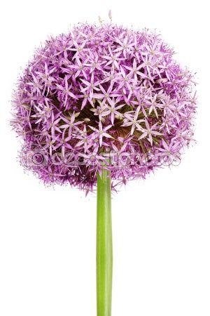 Allium Purple Garlic Flowers Garlic Flower Allium Flowers Flowers