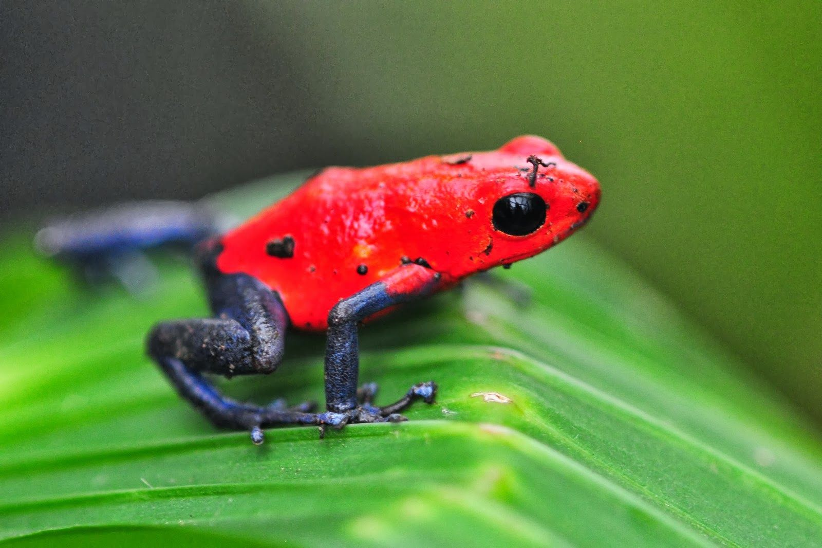Poison Dart Frog Strawberry Poison Dart Frog Strawberry Poison