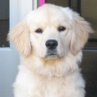 English Creme Golden Retriever Cute But Could You Imagine The