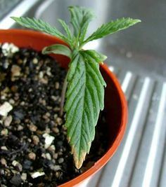 Brown burnt tips on leaves - The first signs of nutrient burn on a marijuana seedling