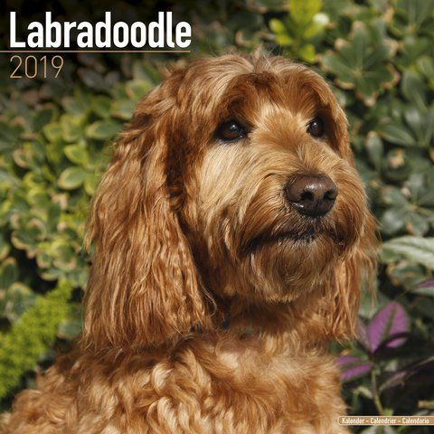 Labradoodle 2019 Calendar With their charming personalities, the