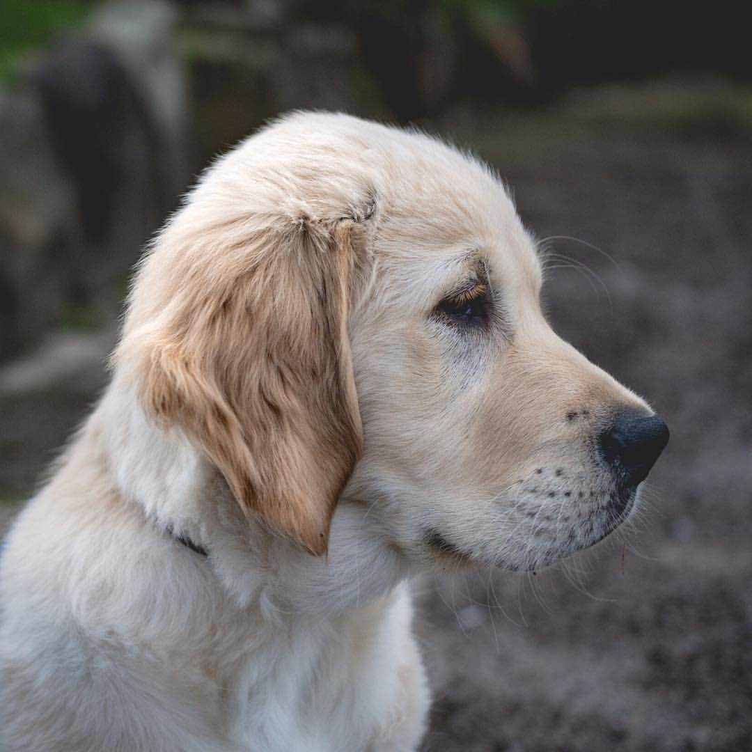Once Upon A Time Not That Long Ago One Of The Many Things I Love About Raising Guide Dog Pups Is The Transformation They Arrive With Guide Dog Dogs Pup