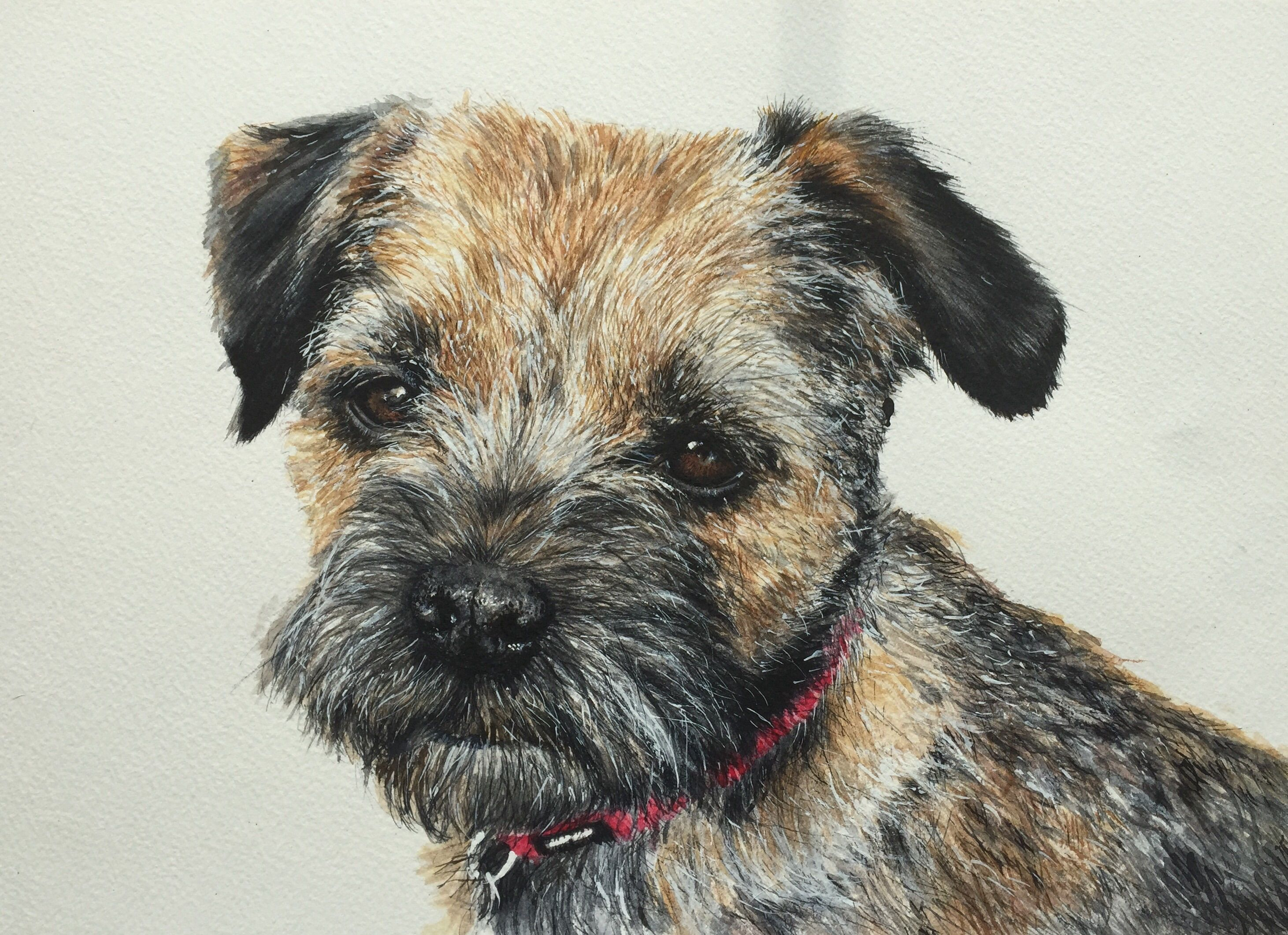 Border Terrier Painted In Watercolour By Judy Dickinson