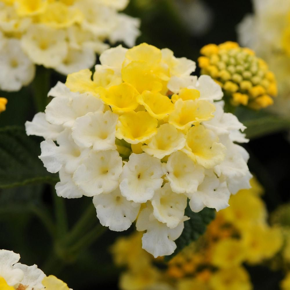 National Plant Network 2 5 In Yellow Bloom Lucky Lemon Glow Lantana Plant 3 Piece Hd1045 The Home Depot In 2020 Lantana Annual Plants Beautiful Flowers