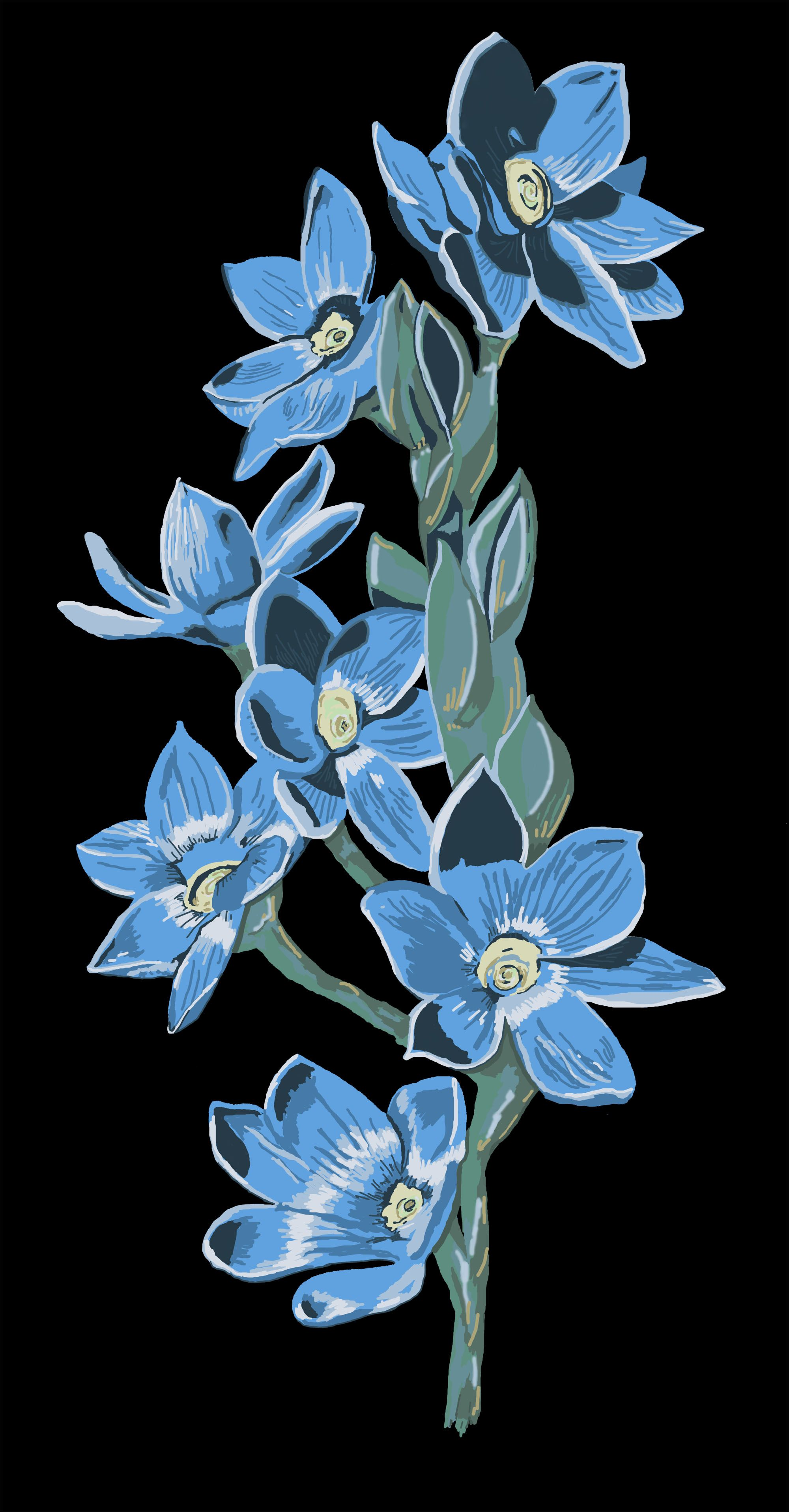 Orchid flowers on stem. Small blue blooms native to Tasmania ...