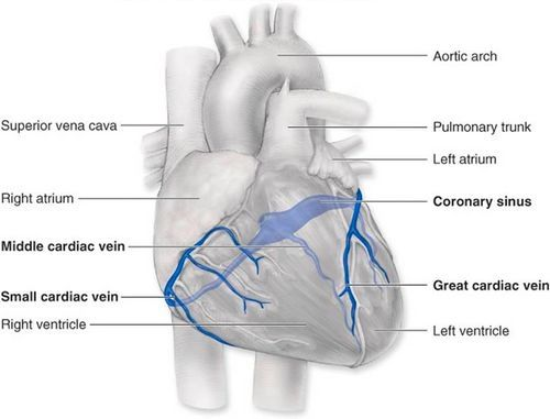 Cardiac Veins Anatomy Coronary Circulation Anatomy Demonstration ...