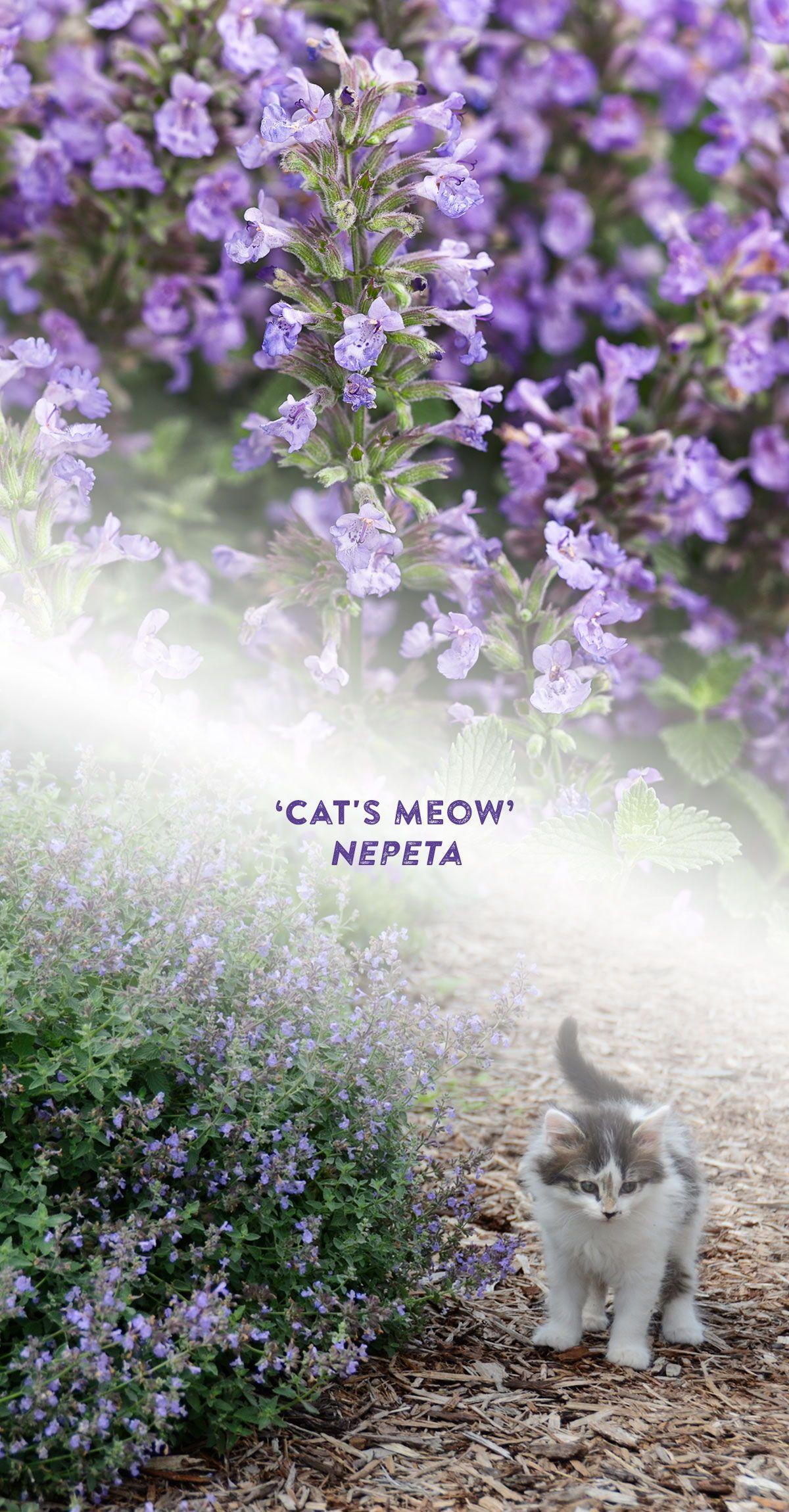 Cat's Meow Nepeta A Beautiful, Uniform Catmint in 2020