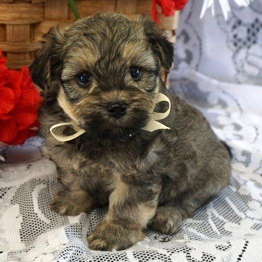 Pucci A Maltipoo Puppy Maltipoo Puppy Puppies Pedigree Dog