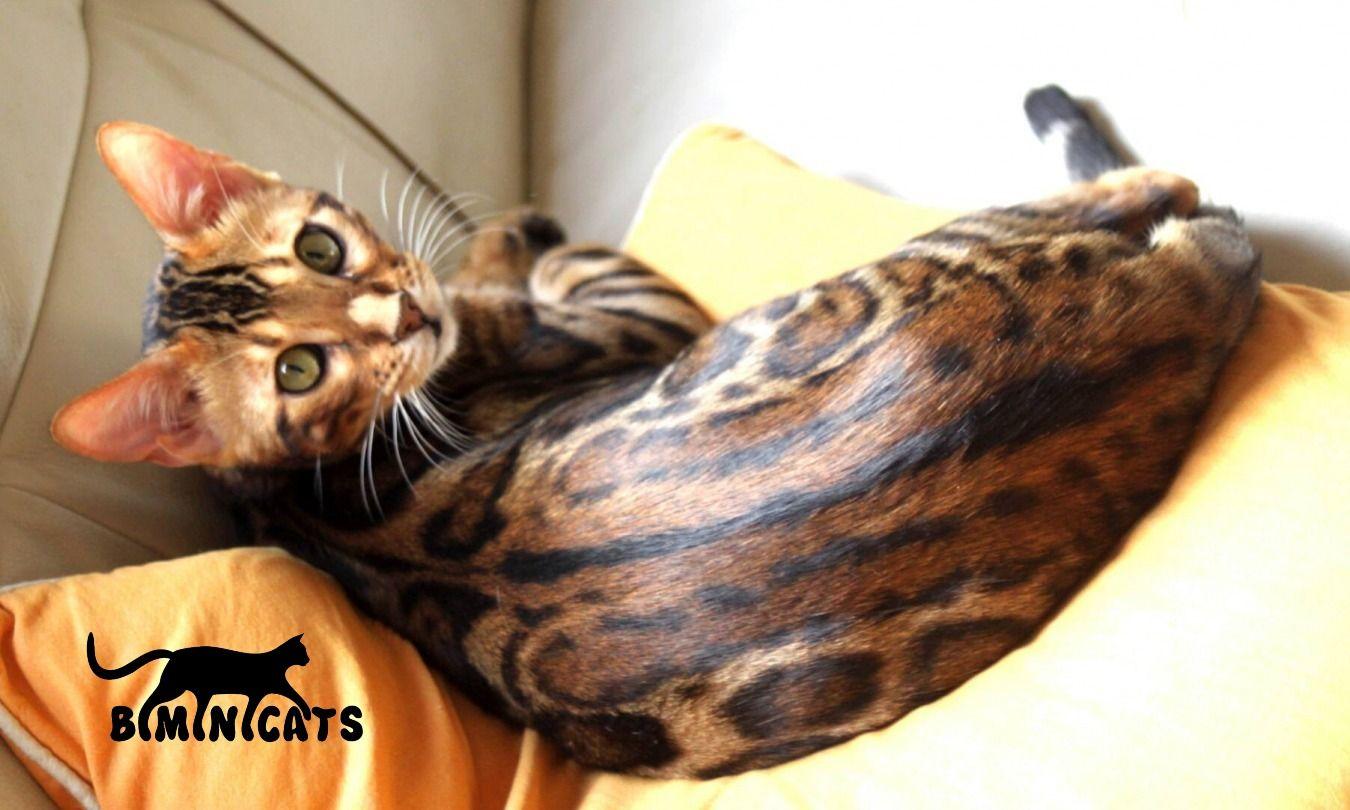 Pin by Lana Krainov on Bengal kittens breeder Bengal