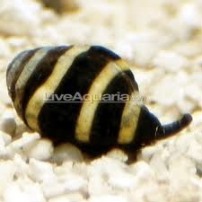 Bumblebee Snail With Images Saltwater Aquarium Saltwater Aquarium Beginner Saltwater Aquarium Setup