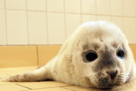 rescued seal  Die Seehundstation Norddeich hat den ersten Heuler aufgenommen.    abendblatt.de